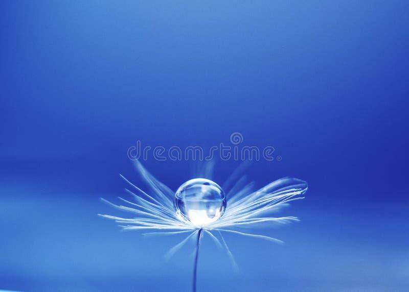 Gota bonita da água em um macro da semente de flor do dente-de-leão na natureza Espaço livre para o texto Papel de parede, fundo, fotografia de stock