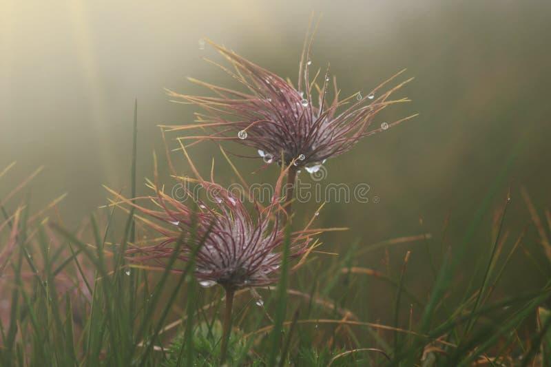 Gota bonita da água em um macro da semente de flor do dente-de-leão na natureza Fundo saturado profundo bonito do azul e do por d imagens de stock royalty free