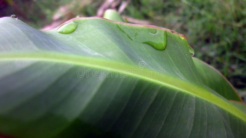 Gota da água na folha da árvore de banana imagem de stock royalty free