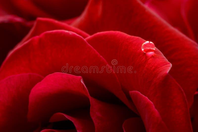 Gota da água na Rosa vermelha bonita Foto macro do fundo da flor foto de stock