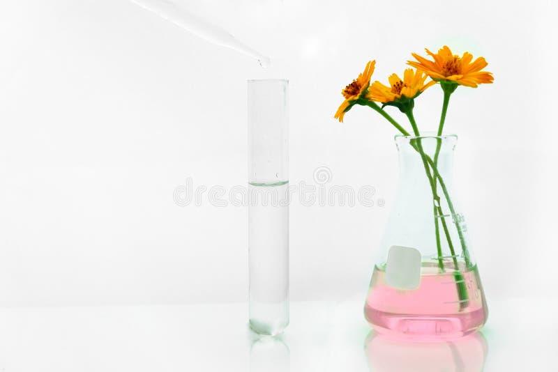 Gota da água no tubo de ensaio com a flor alaranjada na solução cor-de-rosa na garrafa para o branco biológico orgânico da pesqui foto de stock