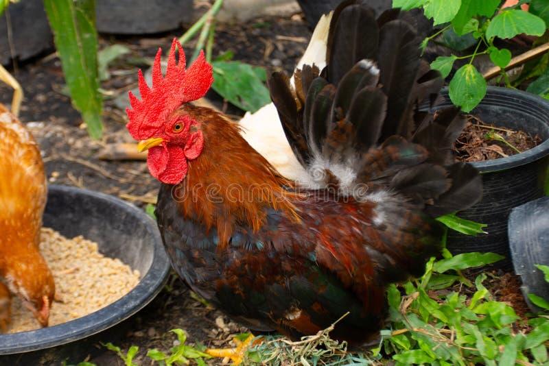 Gota da alimentação de galinha livremente dentro do parque fotografia de stock royalty free
