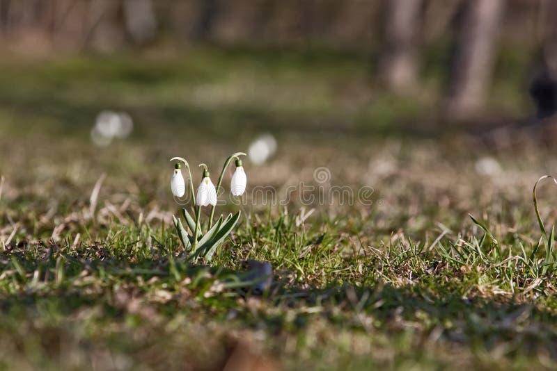 Download Gota da neve imagem de stock. Imagem de mola, nave, floral - 12813323