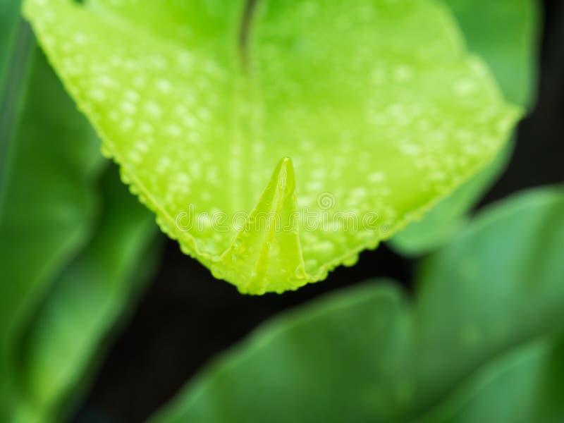 Gota de agua en el helecho del Aspleniaceae imagen de archivo libre de regalías