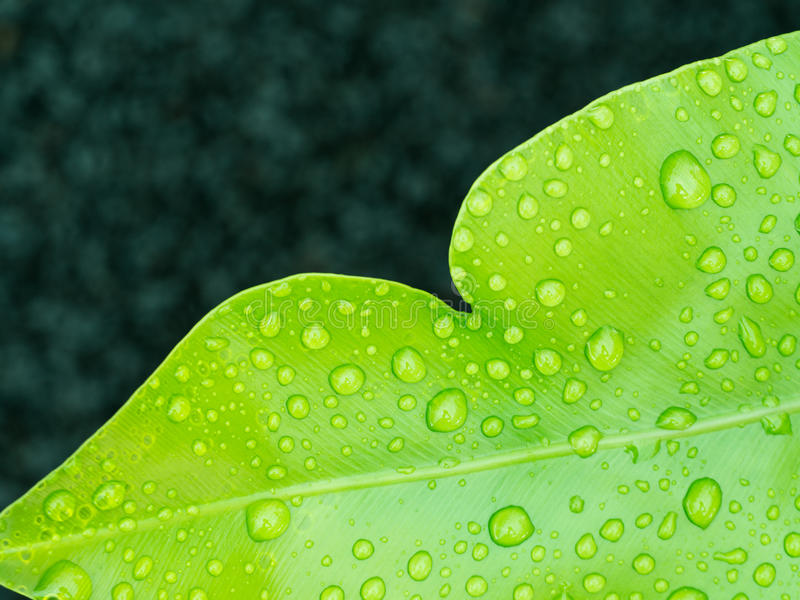 Gota de agua en el helecho del Aspleniaceae imágenes de archivo libres de regalías