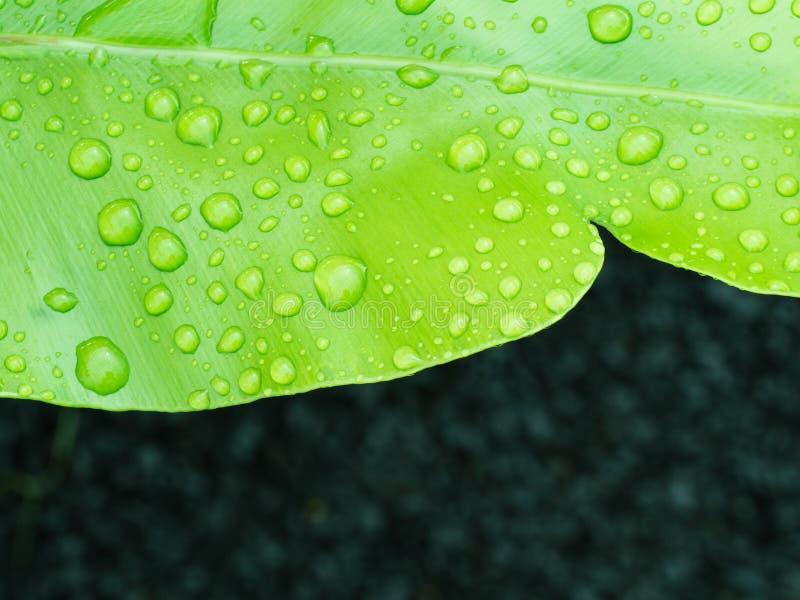 Gota de agua en el helecho del Aspleniaceae fotografía de archivo