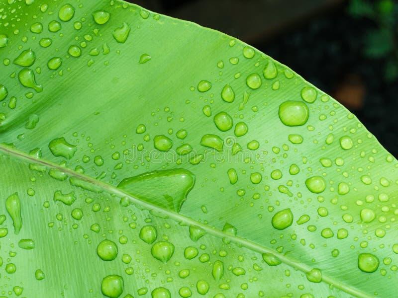 Gota de agua en el helecho del Aspleniaceae fotos de archivo