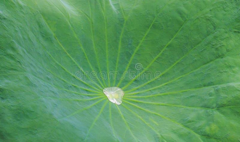Gota de agua en Lotus Leaf fotos de archivo libres de regalías