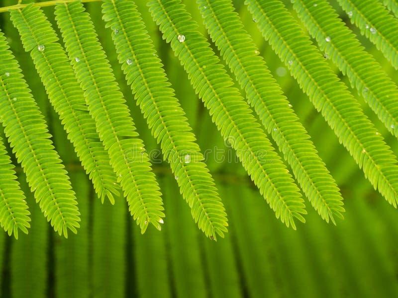 Gota de lluvia en Cha Green Leaf fotos de archivo