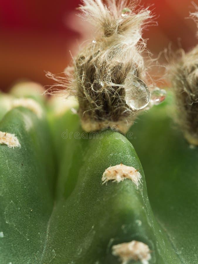 Gota de lluvia en el cactus imagen de archivo libre de regalías