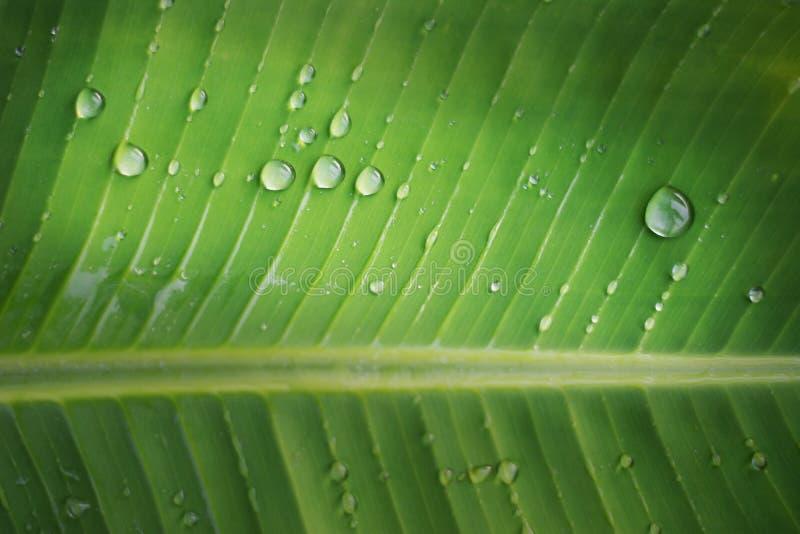 Gota de lluvia en fondo de la hoja del plátano con foto de archivo