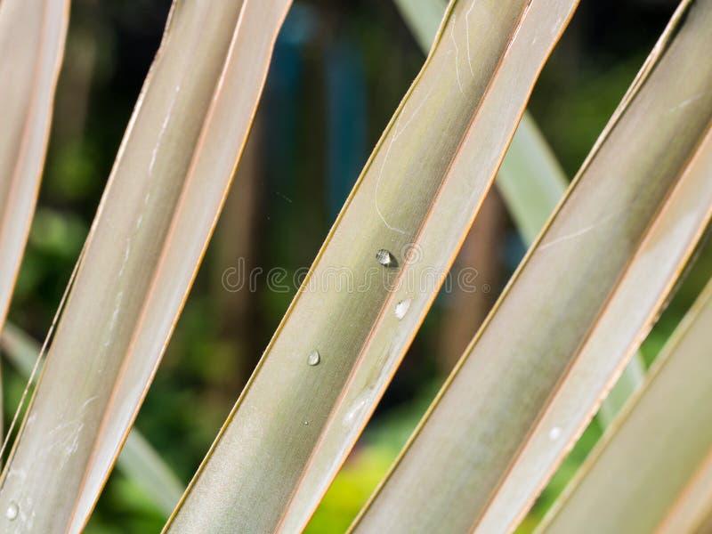 Gota de lluvia en la hoja de palma de Bismarck imagen de archivo