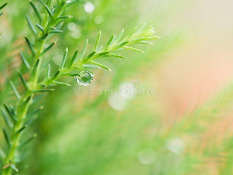 Gota de lluvia en la hoja del pino fotos de archivo