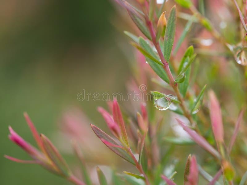 Gota de lluvia en la hoja del pino rojo fotografía de archivo libre de regalías