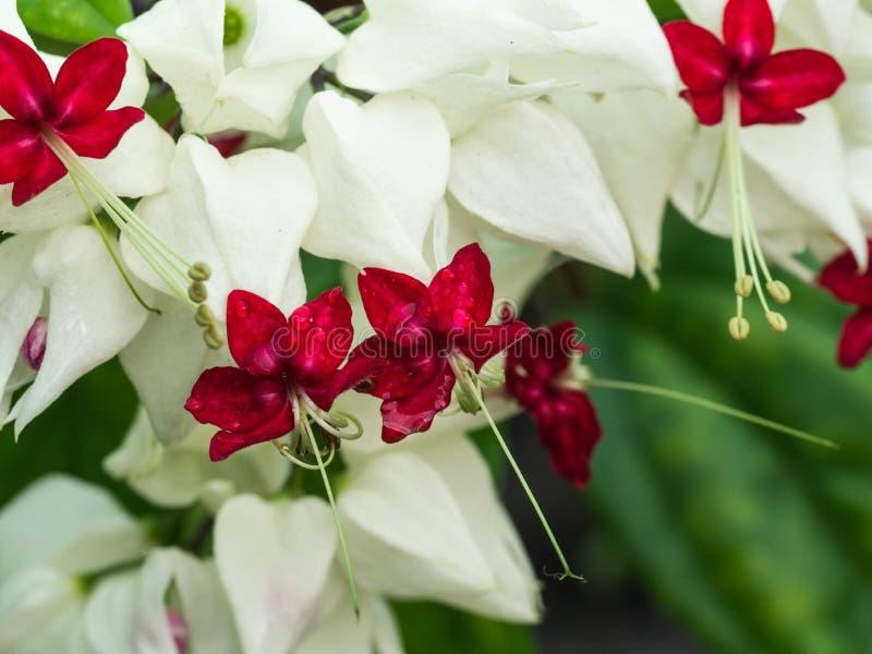 Gota de lluvia en las flores blancas foto de archivo