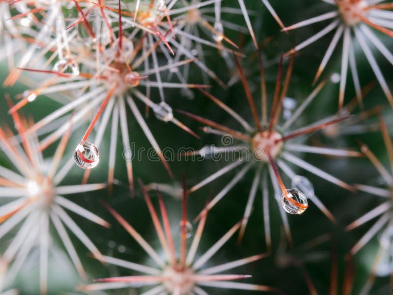 Gota de lluvia en rasgado del cactus imagenes de archivo