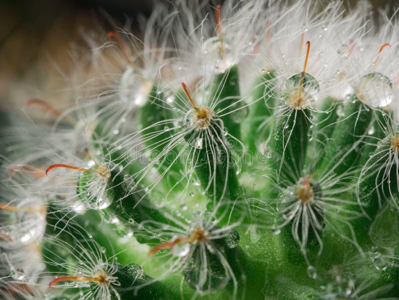 Gota de lluvia en rasgado del cactus fotos de archivo libres de regalías