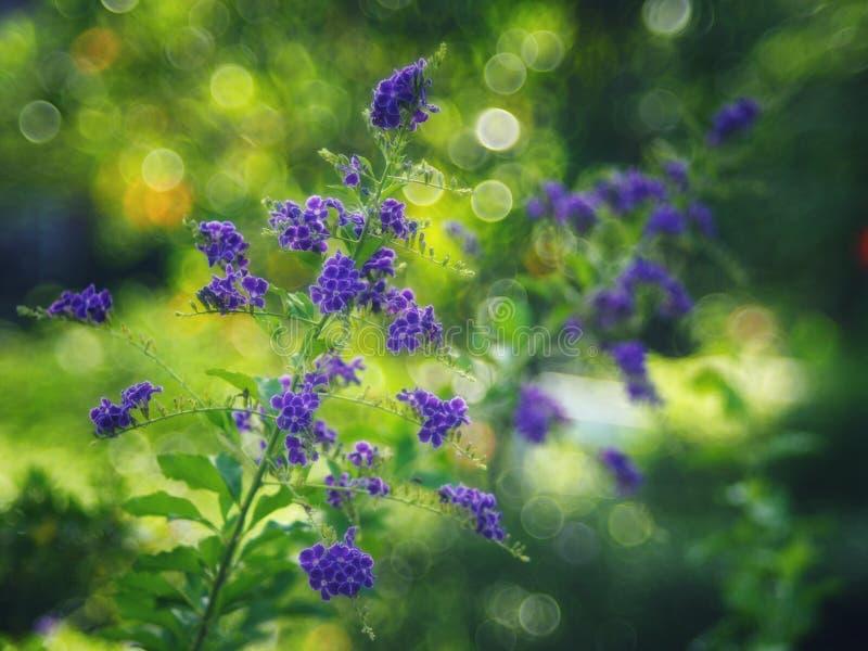 Gota de orvalho dourada, flor do céu de Crepping, baga de pombo Pelos povos tailandeses chamados gotas da vela É uma flor roxa fotografia de stock
