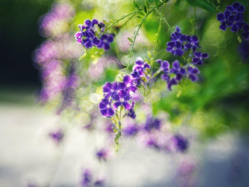 Gota de orvalho dourada, flor do céu de Crepping, baga de pombo Pelos povos tailandeses chamados gotas da vela É uma flor roxa imagem de stock