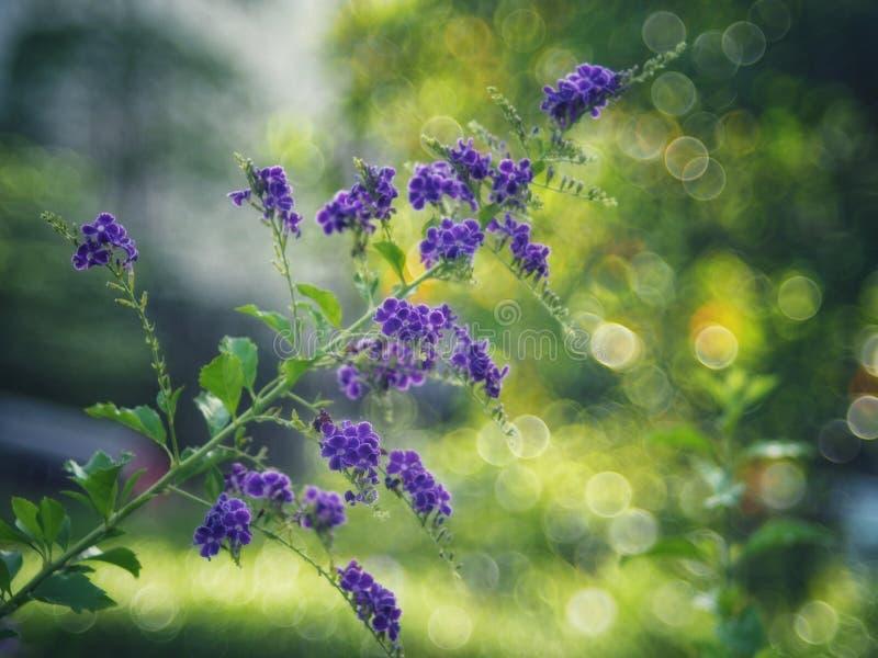 Gota de orvalho dourada, flor do céu de Crepping, baga de pombo Pelos povos tailandeses chamados gotas da vela É uma flor roxa imagem de stock royalty free