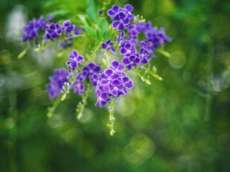 Gota de orvalho dourada, flor do céu de Crepping, baga de pombo Pelos povos tailandeses chamados gotas da vela É uma flor roxa imagens de stock