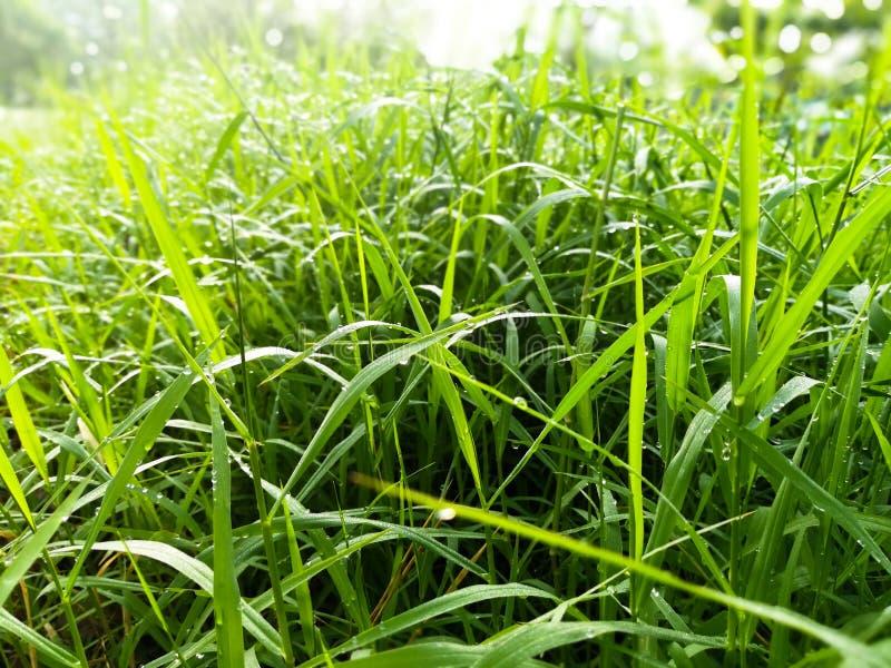 Gota de rocío en la hierba verde imagen de archivo