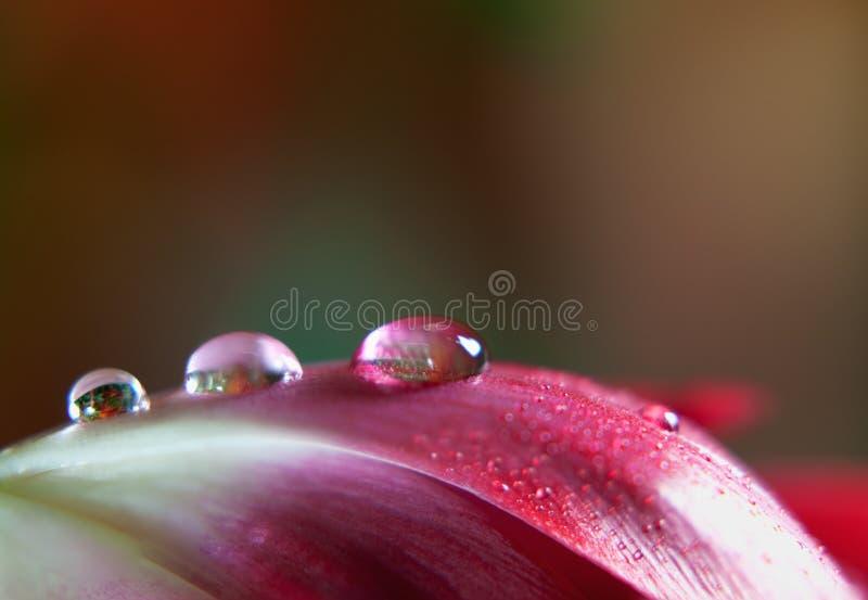 Gota de rocío en tulipán imágenes de archivo libres de regalías