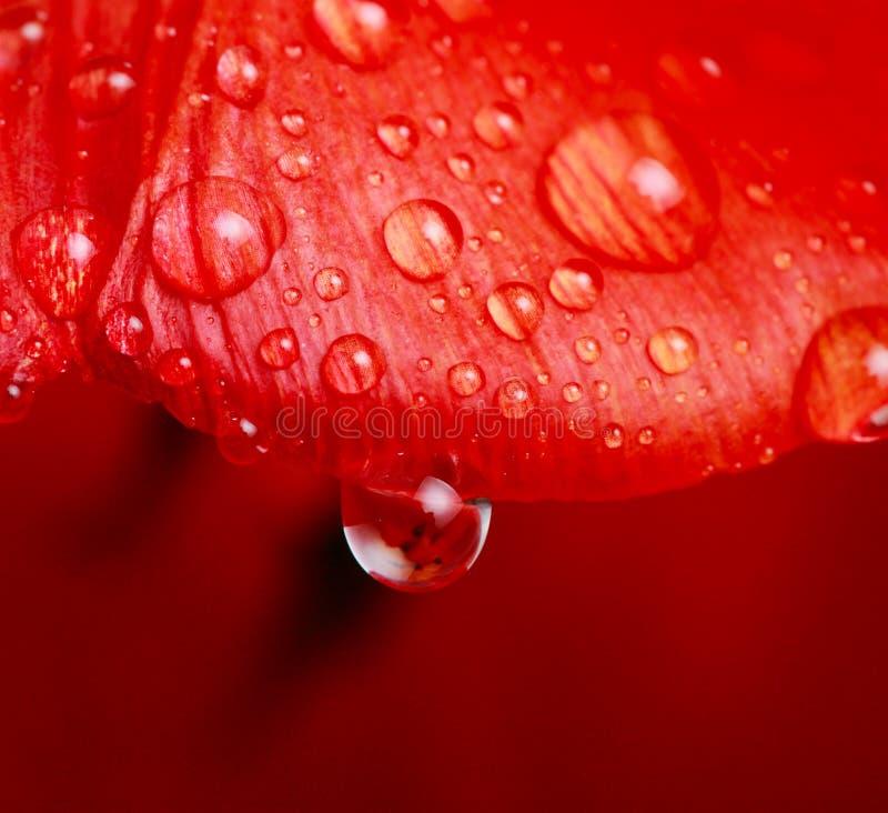 Gota del agua en tulipán fotos de archivo libres de regalías