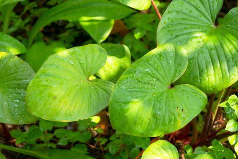 Gota e luz solar da chuva nas folhas verdes do anthurirm fotografia de stock