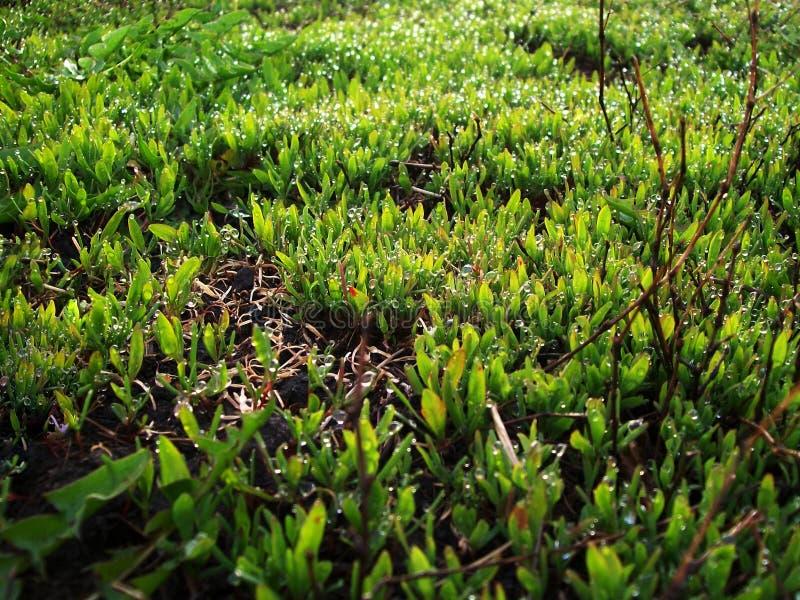 Gota molhada da grama da manhã fotos de stock royalty free
