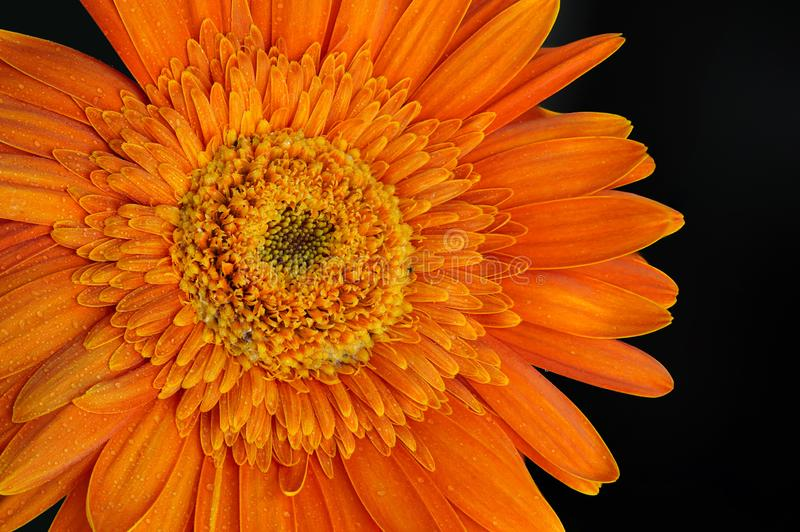 Gotas alaranjadas de Daisy Flower Gerbera With Water fotografia de stock royalty free