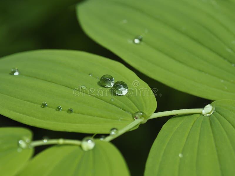 Gotas bonitas da água de chuva nas folhas verdes para o fundo imagens de stock