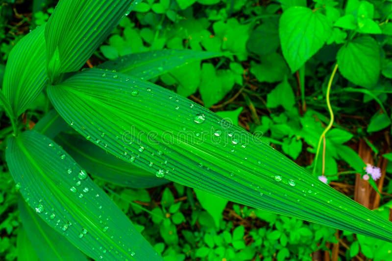 Gotas bonitas da água nas folhas verdes frescas após a chuva fotografia de stock