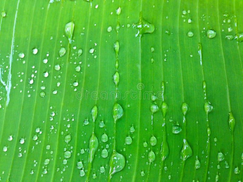 Gotas da água de chuva na folha da árvore de banana imagem de stock royalty free