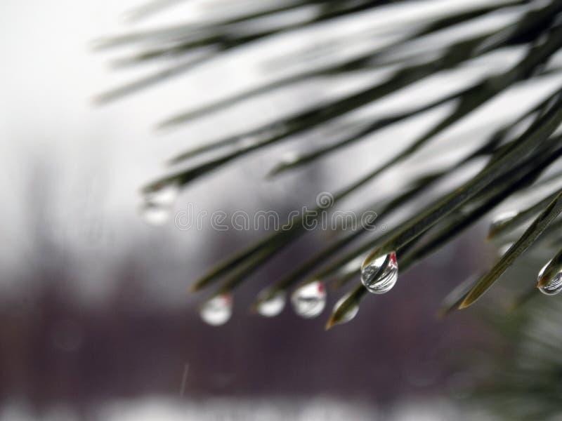 Gotas da água em agulhas do pinho fotos de stock royalty free