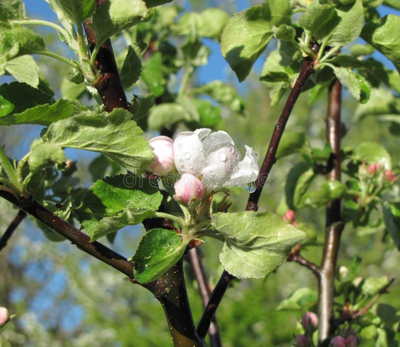 Gotas da água em uma árvore de Apple da flor imagens de stock