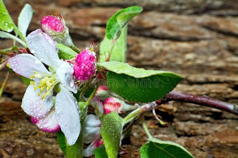 Gotas da água em uma flor de florescência da maçã fotografia de stock