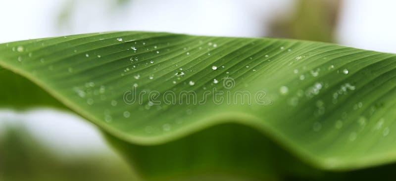 Gotas da água em uma folha da banana imagens de stock