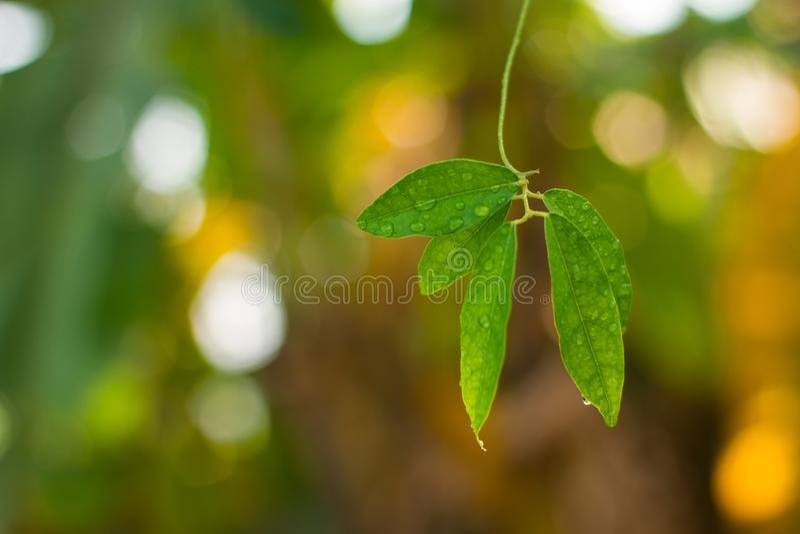 Gotas da água em uma folha verde fotos de stock
