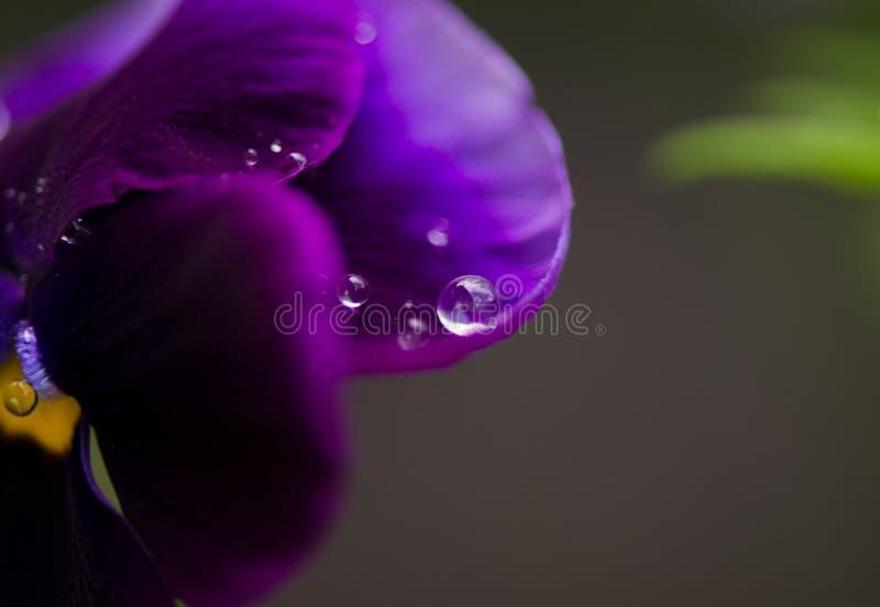 Gotas da água em uma viola bonita da flor foto de stock