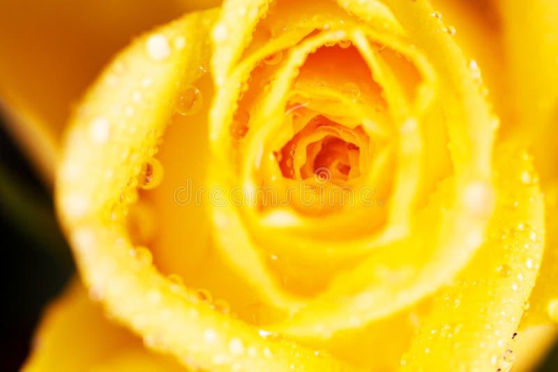Gotas da água na rosa do amarelo fotografia de stock royalty free