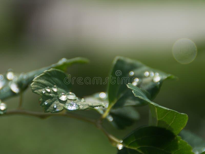 Gotas da água nas folhas foto de stock