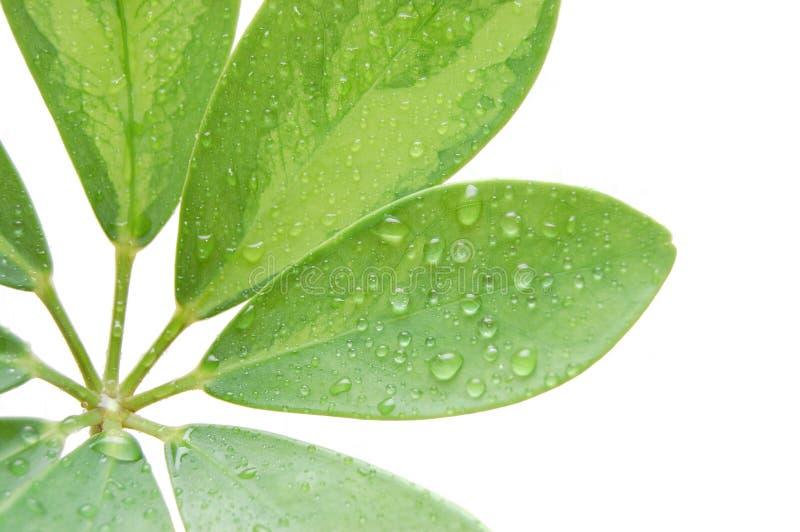 Gotas da água nas folhas frescas foto de stock