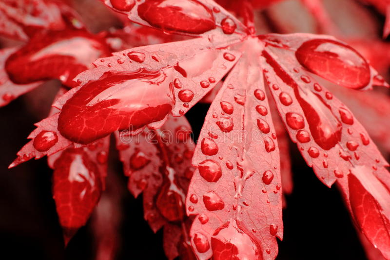 Gotas da água no macro vermelho da folha fotos de stock royalty free