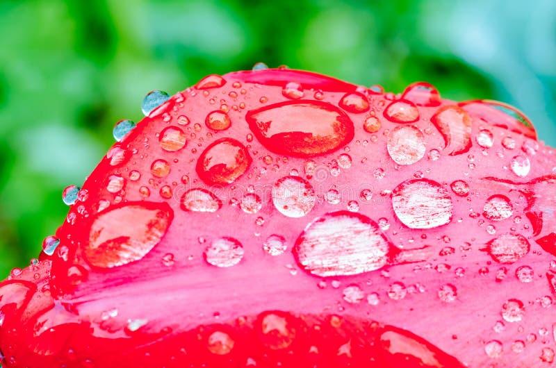 Gotas da chuva de mola em tulipas vermelhas imagem de stock royalty free