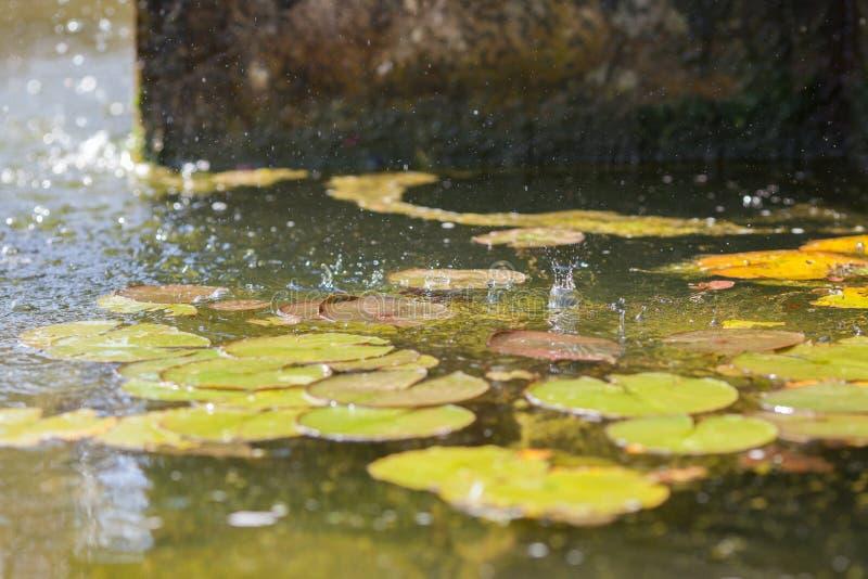 Gotas da chuva do verão na água Almofadas de lírio sob uma fonte Selectiv foto de stock royalty free