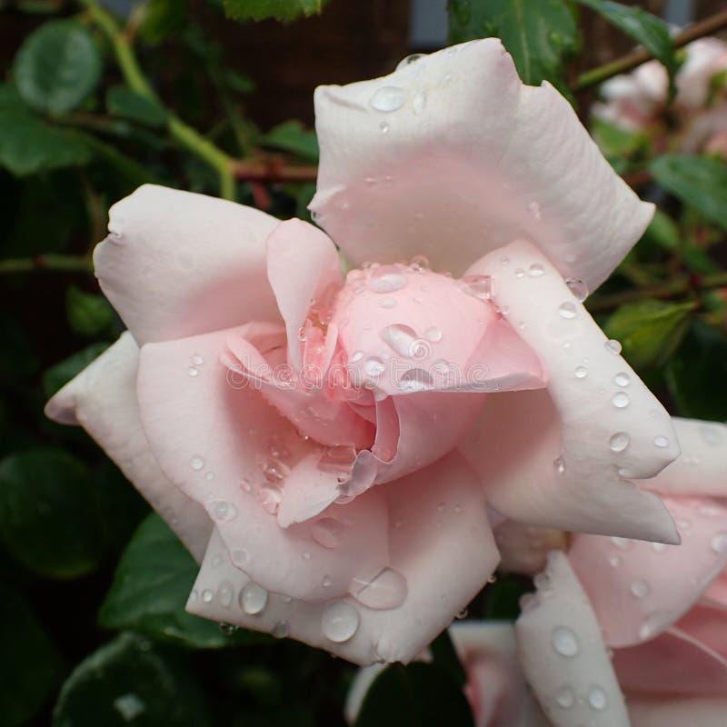 Gotas da chuva em uma única rosa do rosa imagem de stock