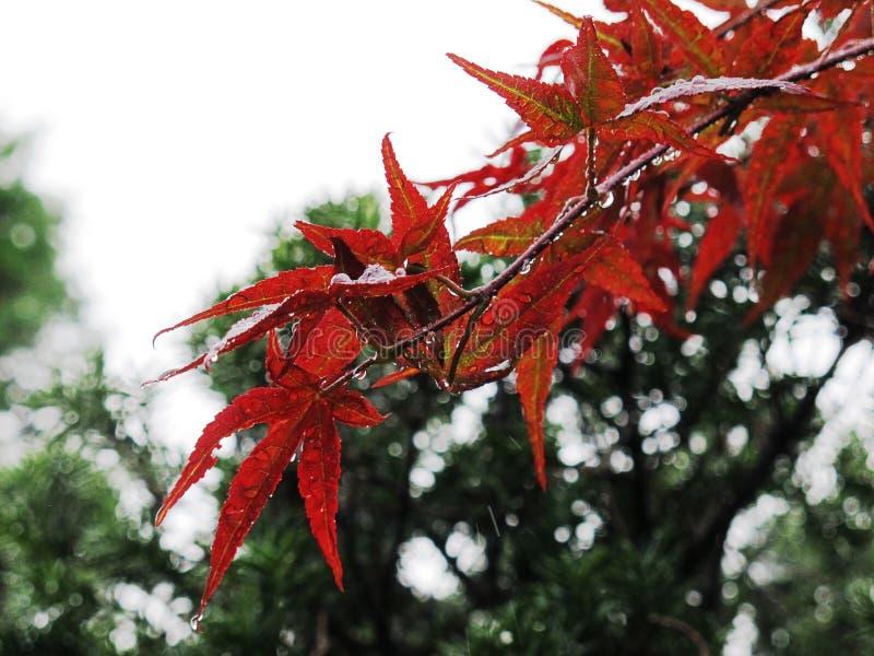 Gotas da chuva em uma cor vermelha da folha de bordo imagens de stock