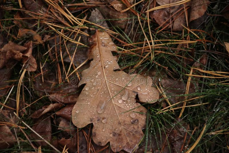 Gotas da chuva em uma licença marrom na terra em uma floresta em Capelle Aan Den Ijssel nos Países Baixos imagem de stock