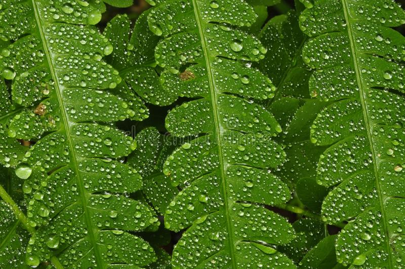 Gotas da chuva na samambaia da samambaia fotos de stock royalty free